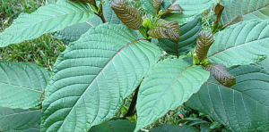 History of the Kratom Tree