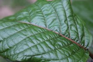 Where Is the Origin of the Herb Kratom?