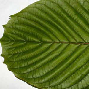 Kratom: What More Should be Known