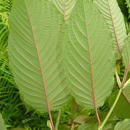 The Positive and Negative Effects of Using Kratom